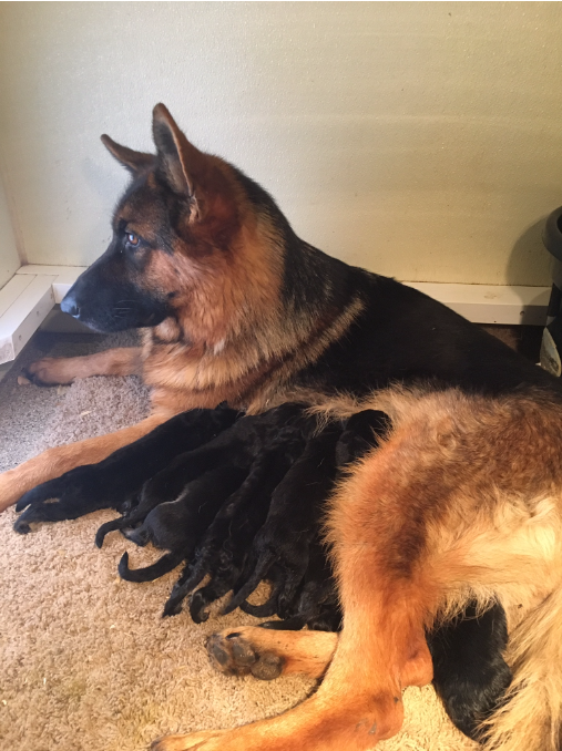 Our Top quality German Shepherd females