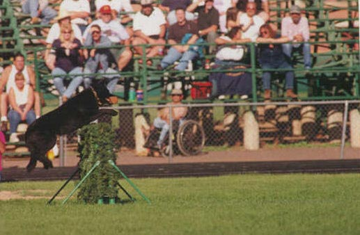 "German Shepherd, Cliff vom Grenzganger, SchH3, KKL2, 1999 Rocky Mountain Regional Champion with a ""V"" score!"
