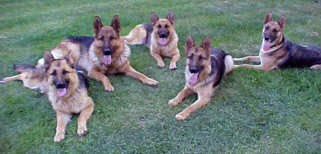 German Shepherds, German Shepherds, German Shepherds, providing top quality German Shepherd puppies