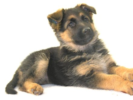 German Shepherd Puppies on German Shepherd Puppies For Sale